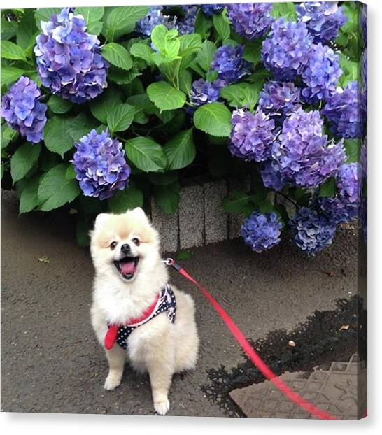 Pomeranians Canvas Print - It's Monday💐let's Have A Great by Masato Fukai