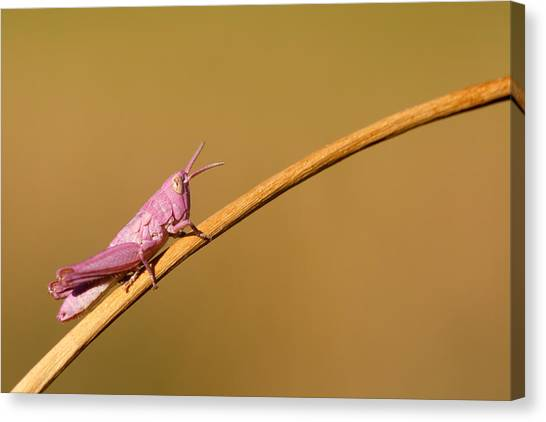 Grasshopper Canvas Print - It's Not Easy Being Pink by Roeselien Raimond