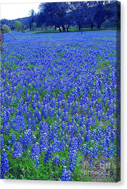 It's Spring - Texas Bluebonnets Time Canvas Print