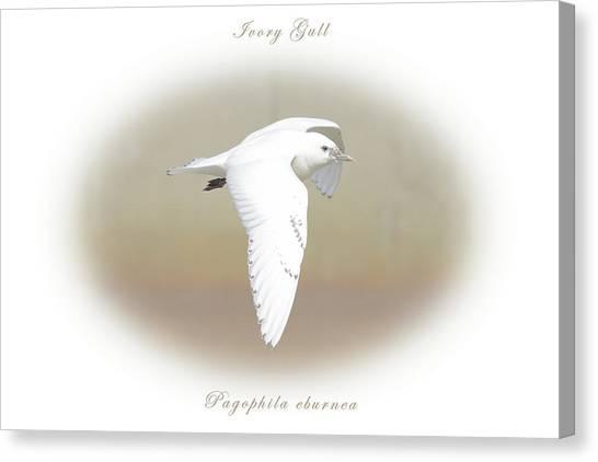 Ivory Gull Canvas Print