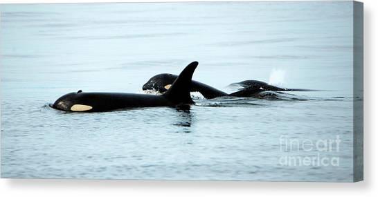Orcas Canvas Print - J-pod Familyties by Mike Dawson