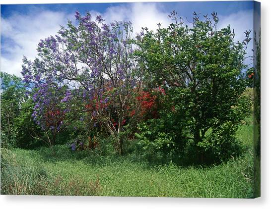 Jacarandra Tree Blooming In Maui Canvas Print by George Oze