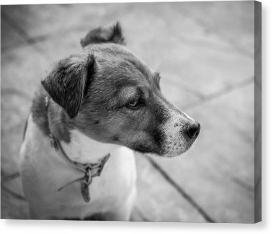 Canvas Print featuring the photograph Jack Russell by Nick Bywater