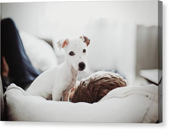 Pets Canvas Print - Jack Russell Terrier Puppy With His Owner by Lifestyle photographer