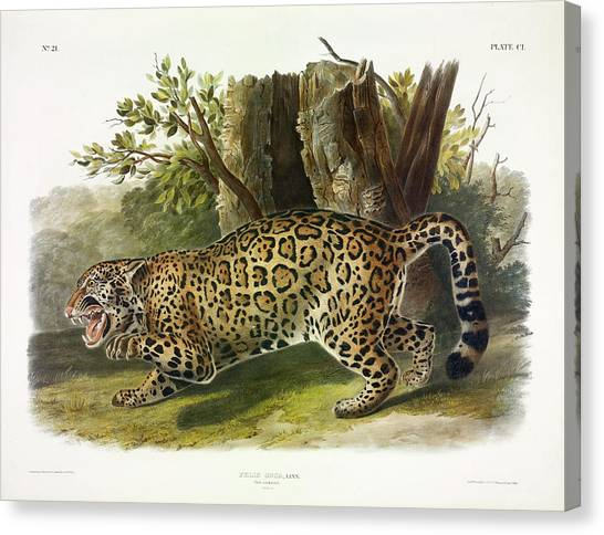 Florida Panthers Canvas Print - Jaguar by John James Audubon