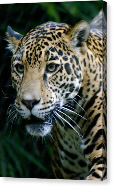 Canvas Print - Jaguar by Sonja Anderson