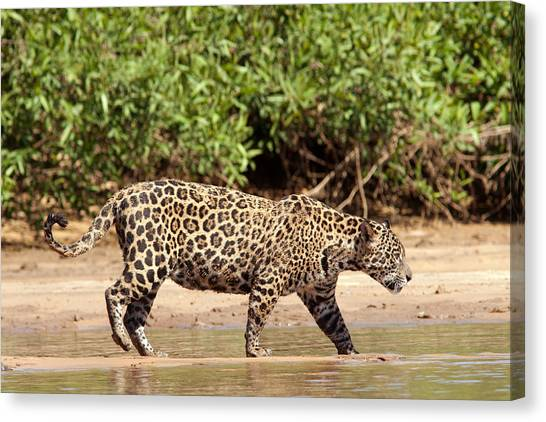 Jaguar Walking On A River Bank Canvas Print