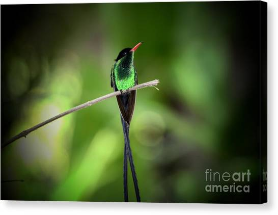 Jamaican Hummingbird Canvas Print
