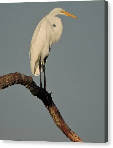 January Egret Canvas Print