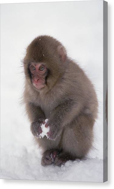 Canvas Print featuring the photograph Japanese Macaque Macaca Fuscata Baby by Konrad Wothe