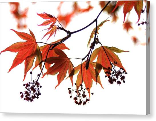Japanese Maple 2011-2 Canvas Print
