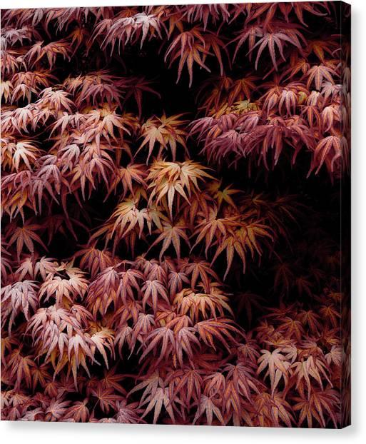 Japanese Maple, Acer Palmatum Seigen Canvas Print by Frank Tschakert