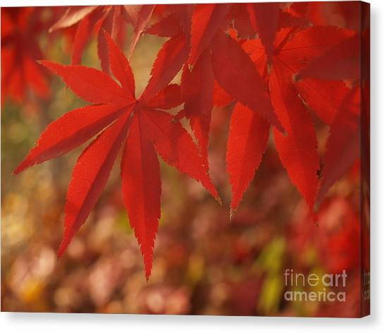 Japanese Maple In Afternoon Canvas Print by Anna Lisa Yoder