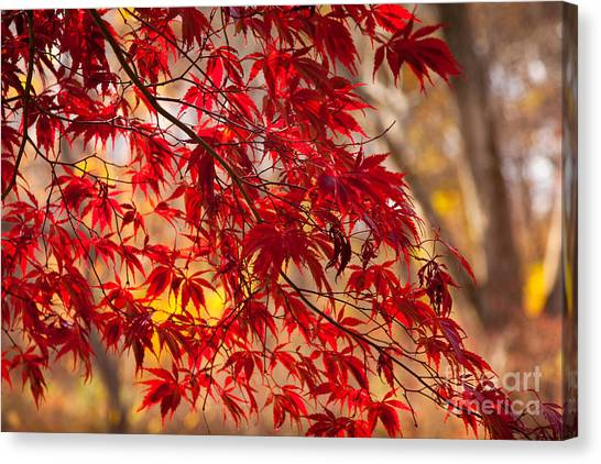Japanese Maples Canvas Print