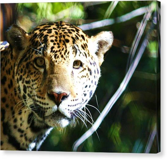 Jaquar Canvas Print by Russell  Barton
