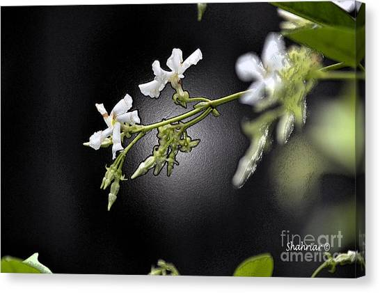 Jasmine In The Dark Canvas Print