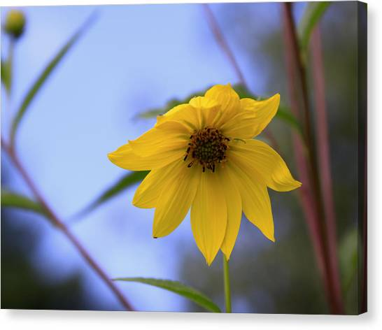 Jerusalem Artichoke And Blue Sky Canvas Print