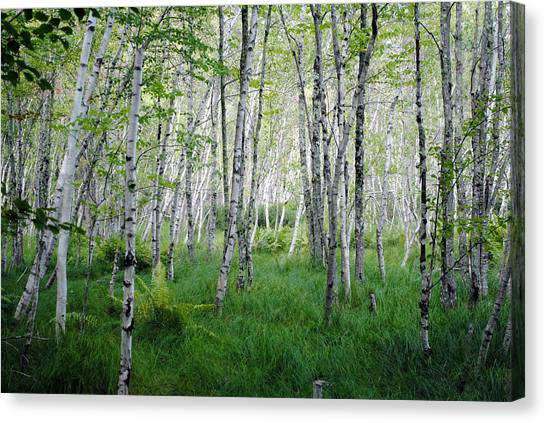 Jesup Path Birches Canvas Print by Steven Scott