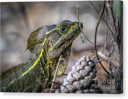 Canvas Print featuring the photograph Jesus Lizard #2 by Tom Claud