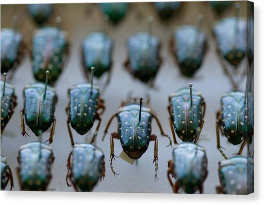 University Of Nebraska Canvas Print - Jewel Scarab Beetles At The University by Joel Sartore