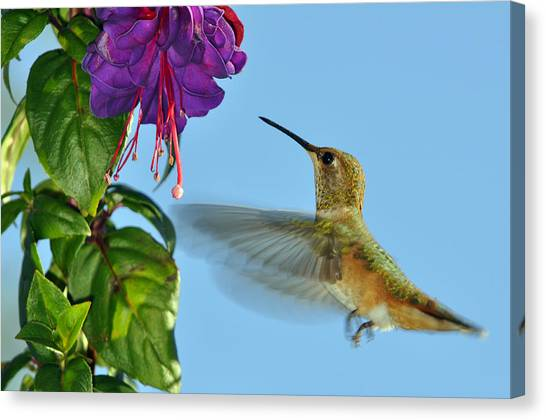 Fuschia Canvas Print - Jeweled Rufous In Afternoon Light by Laura Mountainspring
