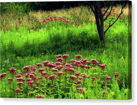 Joe Pye Weed Canvas Print