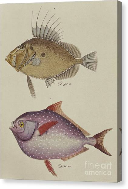 Angler Art Canvas Print - John Dory And Opah by German School