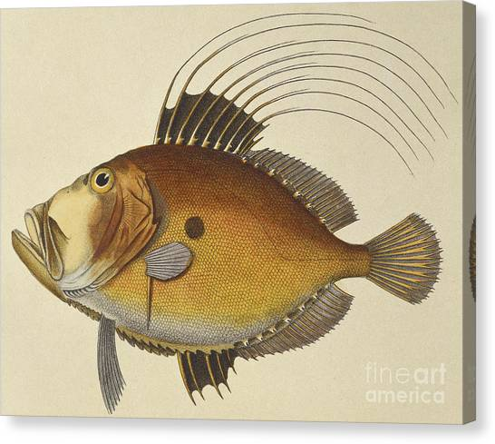 Angler Art Canvas Print - John Dory by French School