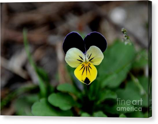 Jonny Jump Up - Relative To A Pansy Canvas Print