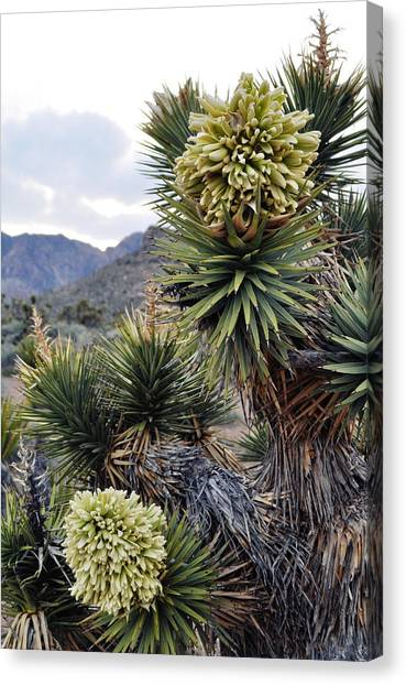 Joshua Tree Bloom Rainbow Mountain Canvas Print