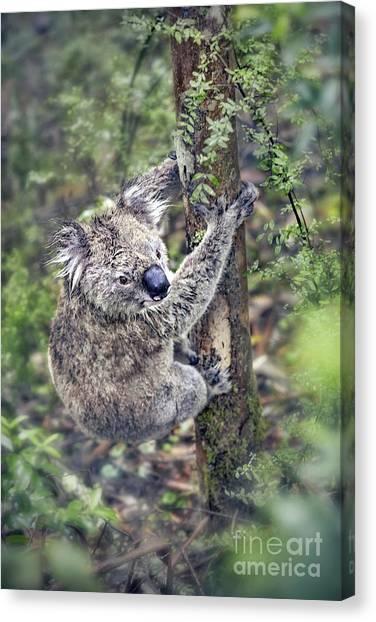 Koala Canvas Print - Joyous Hangover by Evelina Kremsdorf