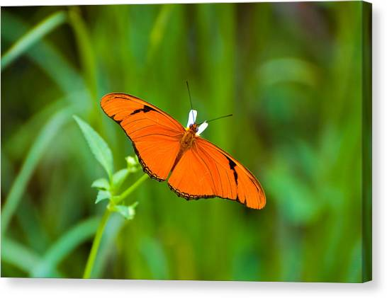 Julia Butterfly Canvas Print by Rich Leighton