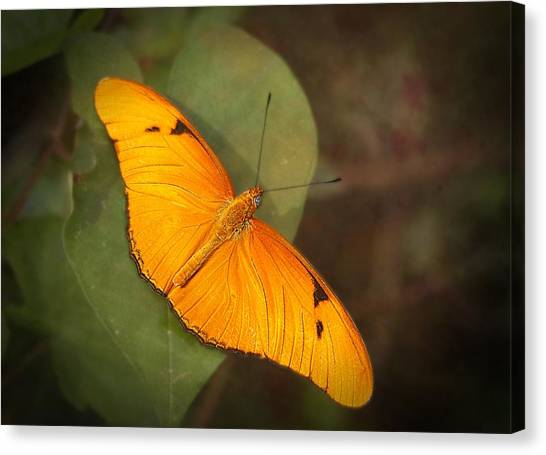 Julia Dryas Butterfly-2 Canvas Print