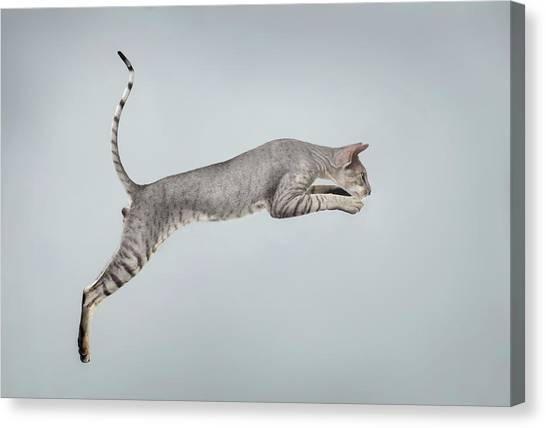 Sphynx Cats Canvas Print - Jumping Peterbald Sphynx Cat On White by Sergey Taran