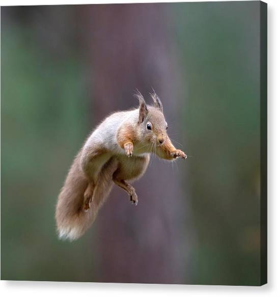 Jumping Red Squirrel Canvas Print