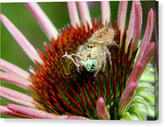 Jumping Spider With Green Weevil Snack Canvas Print