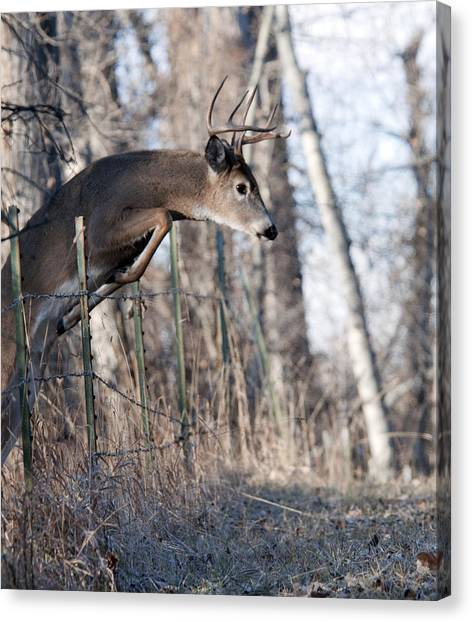 Jumping White-tail Buck Canvas Print