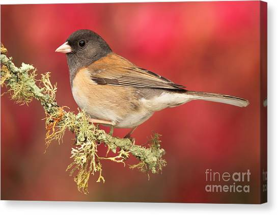 Junco Against Peach Blossoms Canvas Print