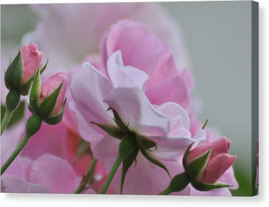 June Roses 1 Canvas Print