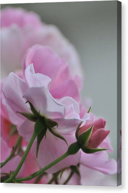 June Roses 2 Canvas Print