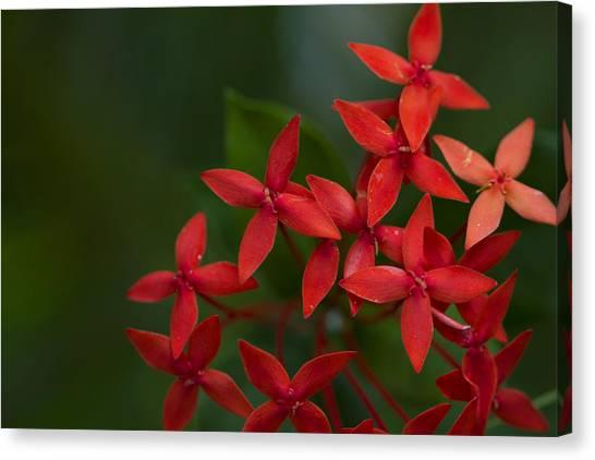Jungle Geranium Canvas Print