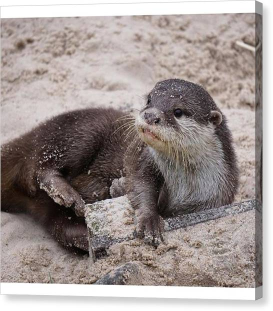 Otters Canvas Print - Just An #otter Sitting Around At by John Cuthbert