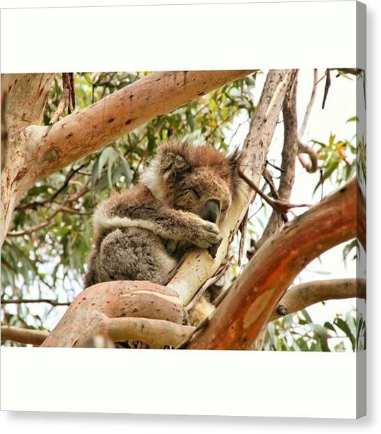 Koala Canvas Print - Just Chillin' In The Tree And Sleeping by Jonas Wehbrink