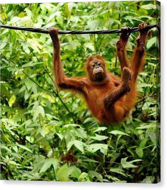 Orangutans Canvas Print - Just Hanging Out, Dreaming Of Bananas by Glen Thomson