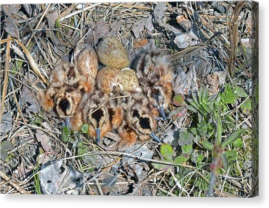 Woodcock Canvas Print - Just Hatched American Woodcock Chicks by Asbed Iskedjian