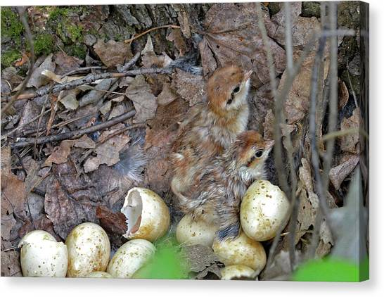 Woodcock Canvas Print - Just Hatched Ruffed Grouse Chicks by Asbed Iskedjian