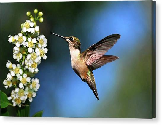 Hummingbird Canvas Print - Just Looking by Christina Rollo