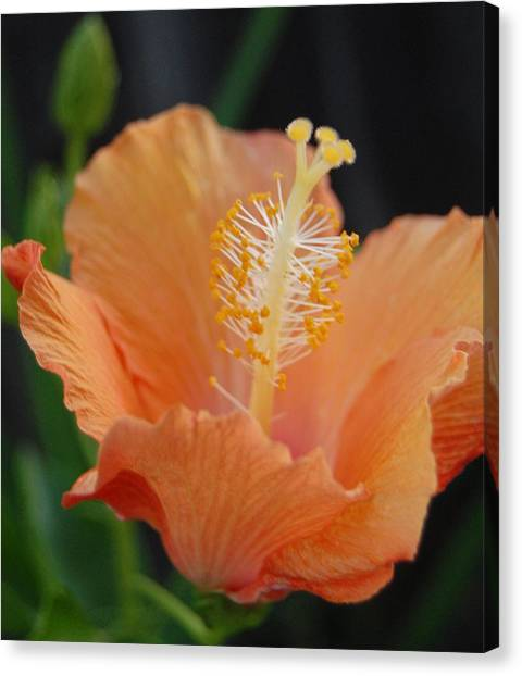 Just Peachy Canvas Print by Jean Booth