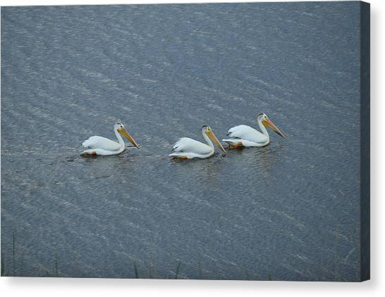 Triple Pelicans Lake John Swa Co Canvas Print
