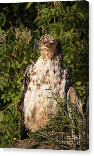 Eagle Scout Canvas Print - Juvenile Bald Eagle by Rob Daugherty